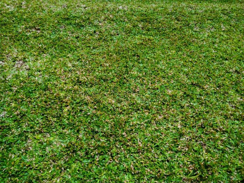 Gramas verdes luxúrias bonitas do búfalo-da-índia, fundo verde, fundo da natureza, texturas na natureza fotografia de stock