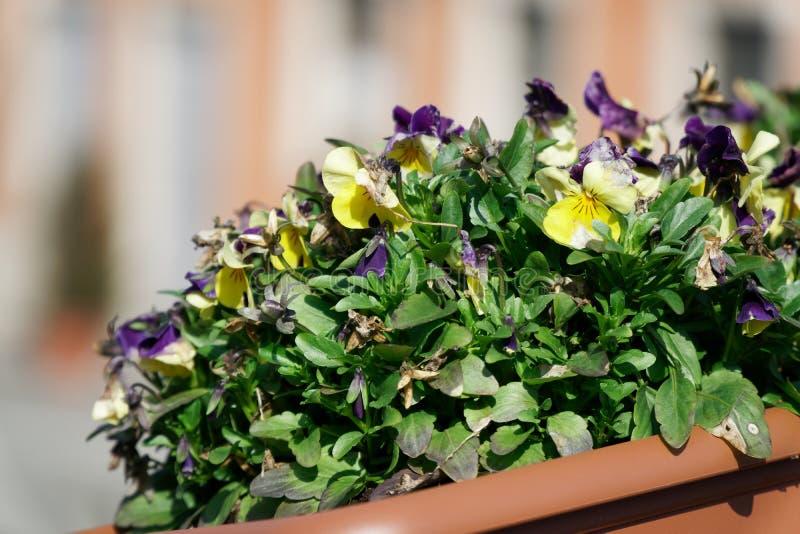 Grame o close-up no gramado verde, fundo blured, textura fresca foto de stock royalty free