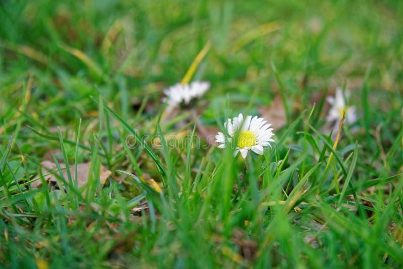 Grame o close-up no gramado verde, fundo blured, textura fresca fotografia de stock
