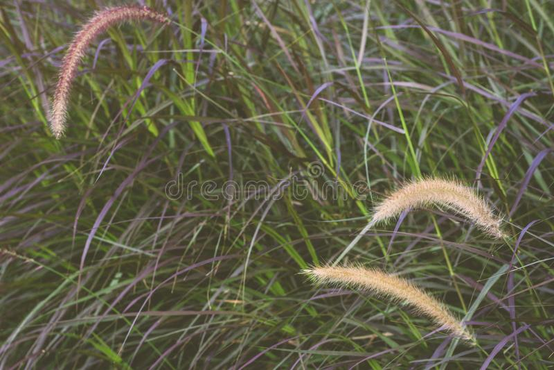 Gramineae trawy pola natury tło zdjęcie royalty free