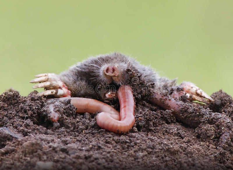 Gramocząsteczki łasowania earthworm obraz stock