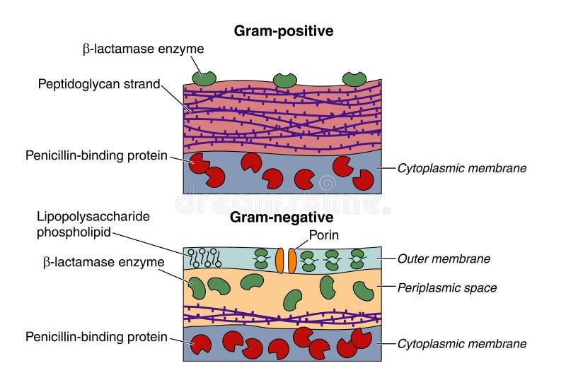 Grampositieve en negatieve bacteriën royalty-vrije illustratie