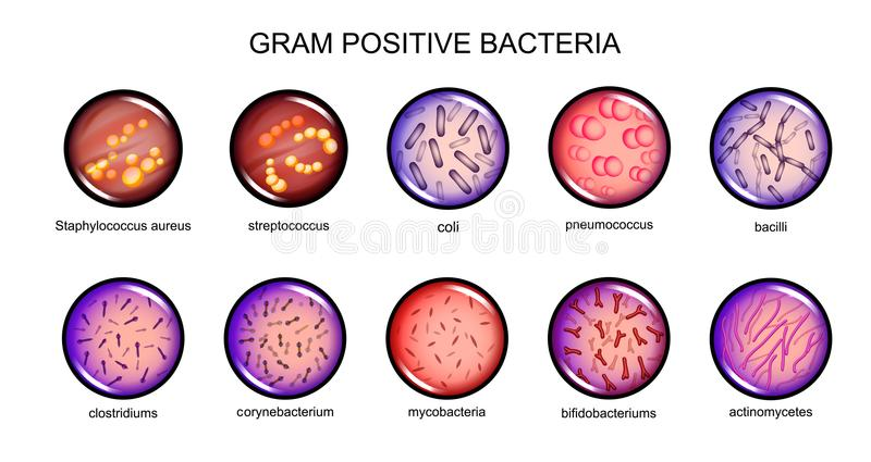 Grampositive Bakterien stock abbildung