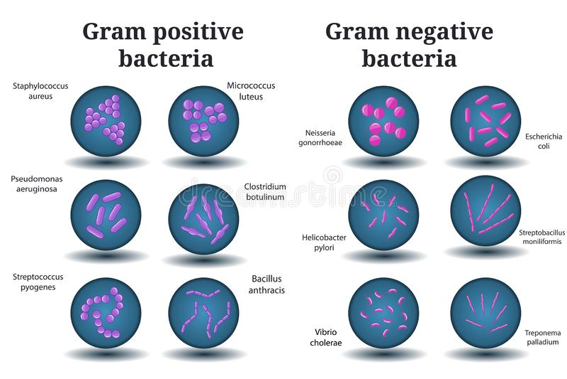 Grampositive und Gram negativ-Bakterien Kokke, Bazillus, gebogene Bakterien in Petrischale stock abbildung