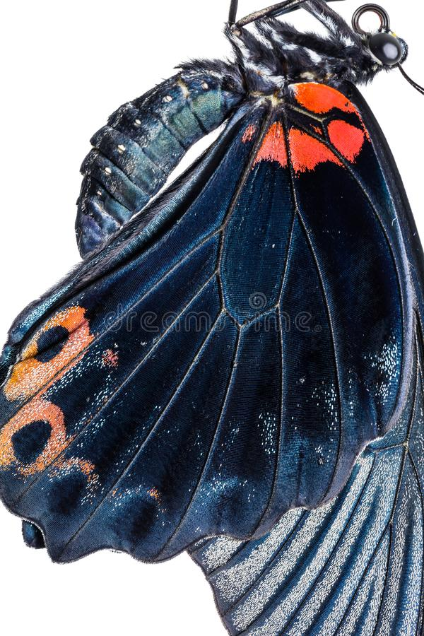 Gran ala masculina de la mariposa del memnon de Papilio del mormón fotografía de archivo libre de regalías