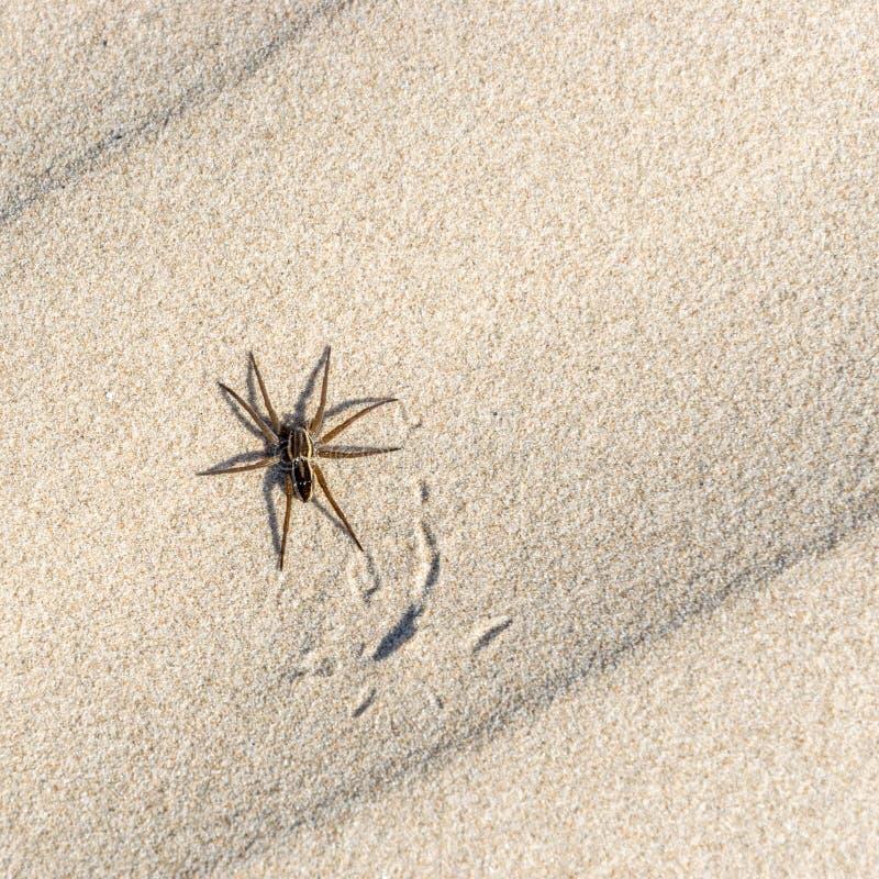 Gran araña de la balsa, plantarius de Dolomedes en la arena imagenes de archivo