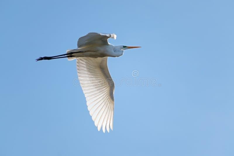 Gran Ardea alba, un aga blanco grande de la garceta del pájaro de la garza en vuelo foto de archivo