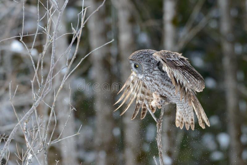 Gran aterrizaje de Gray Owl foto de archivo