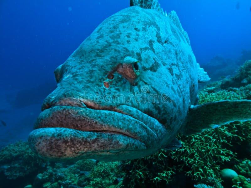 Gran bacalao gigante de la patata de Australia del filón de barrera fotografía de archivo