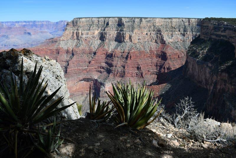 Gran Cañón de desatención del cactus fotografía de archivo