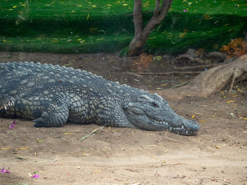 Aligator at Cocodrilo Park, Gran Canaria. Gran Canaria/Spain - August 15 2019: Crocodilo Park is located in the south east of Gran Canaria island close to Agü royalty free stock photo