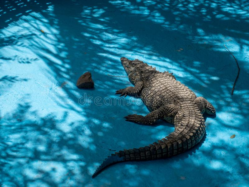 Aligator at Cocodrilo Park, Gran Canaria. Gran Canaria/Spain - August 15 2019: Crocodilo Park is located in the south east of Gran Canaria island close to Agü royalty free stock photos