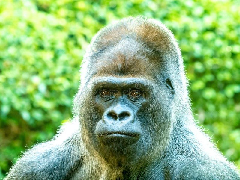 Gran cierre para arriba de una cara del gorila foto de archivo libre de regalías
