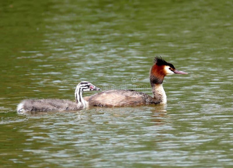 Gran colimbo con cresta con el joven en un lago fotos de archivo