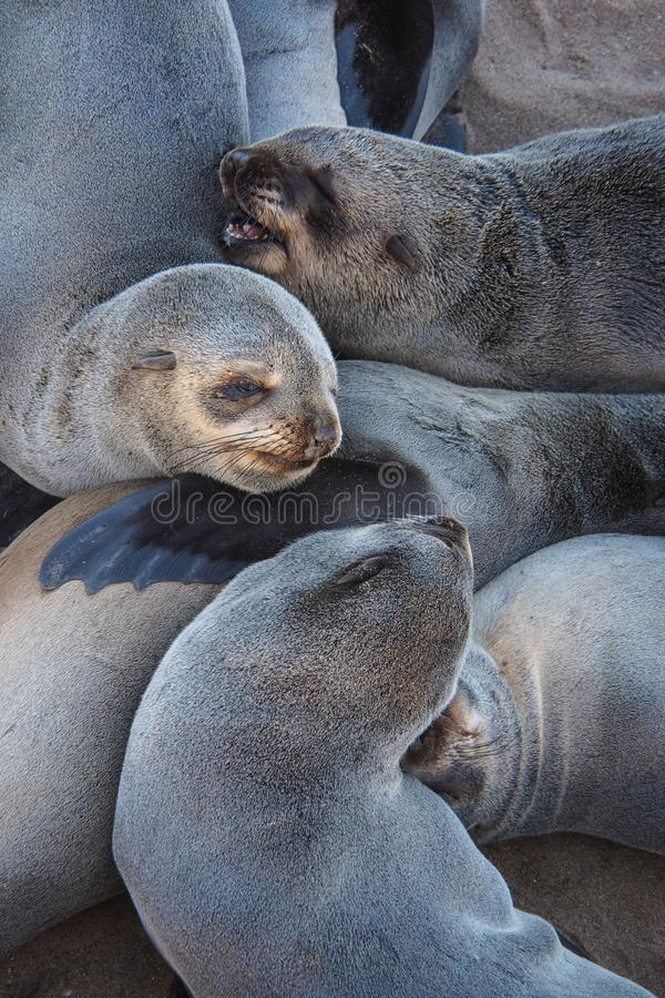 Gran colonia de lobos marinos del cabo en la cruz del cabo en Namibia fotografía de archivo