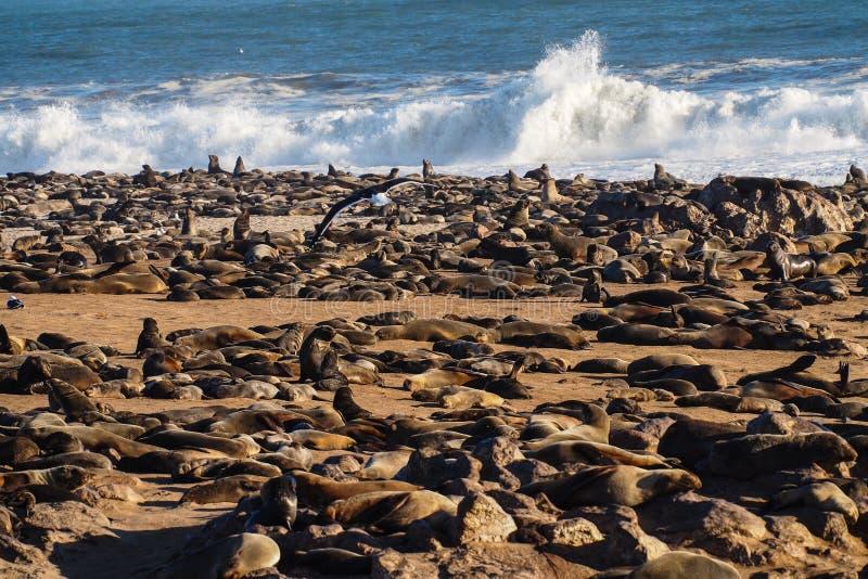 Gran colonia de lobos marinos del cabo en la cruz del cabo en Namibia imágenes de archivo libres de regalías