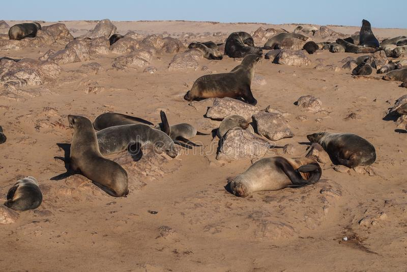 Gran colonia de lobos marinos del cabo en la cruz del cabo en Namibia imagen de archivo
