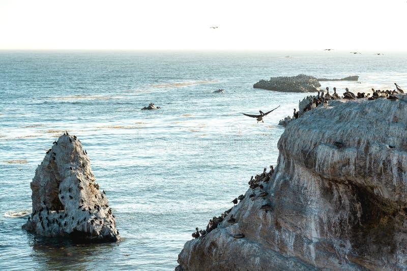 Gran colonia de pelícanos en Cliff Top fotos de archivo libres de regalías