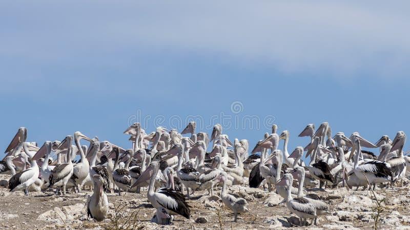 Gran colonia de pelícanos en la isla del pingüino, Rockingham, Australia occidental imagen de archivo