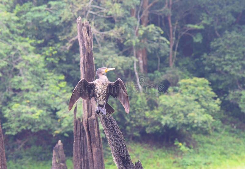 Gran cormorán negro - carbón del Phalacrocorax - que se sienta en la madera con las alas abiertas en el parque nacional de Periya imagenes de archivo