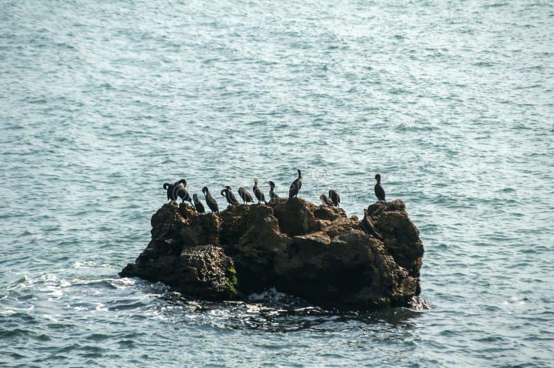Gran cormorán negro en roca del mar foto de archivo