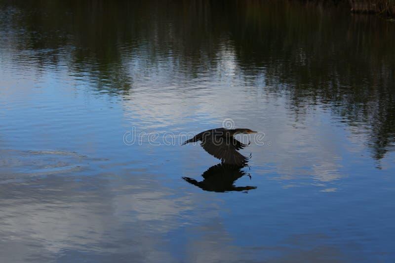 Gran cormoran que vuela sobre un río imagenes de archivo