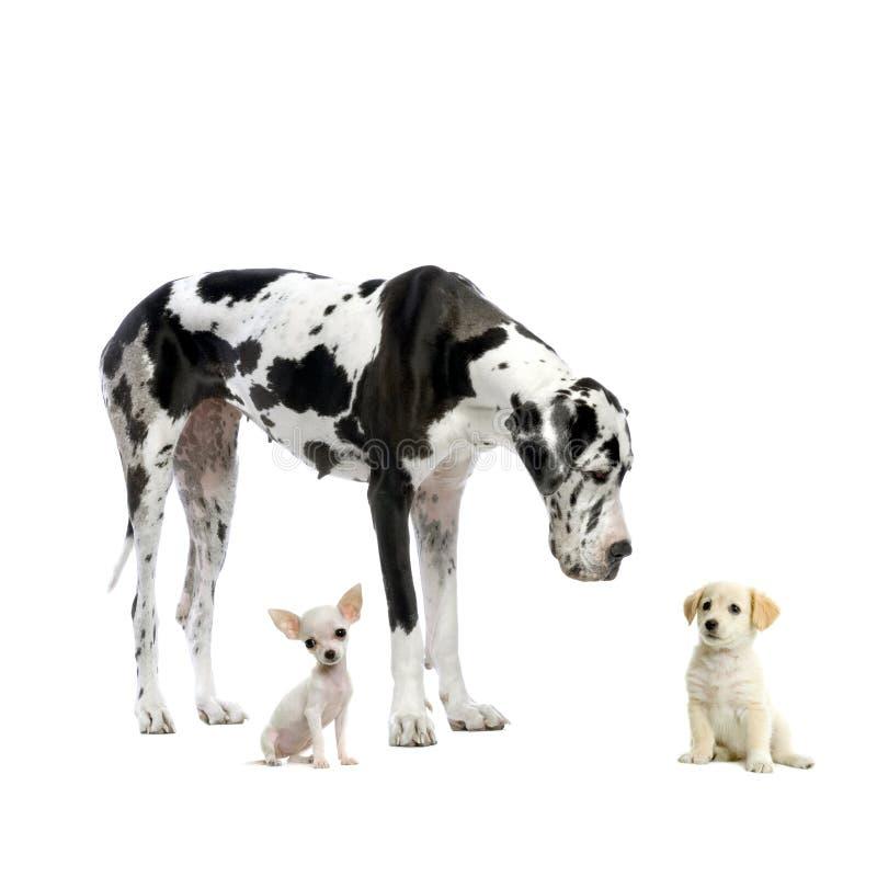 Gran danés y perritos imagen de archivo libre de regalías