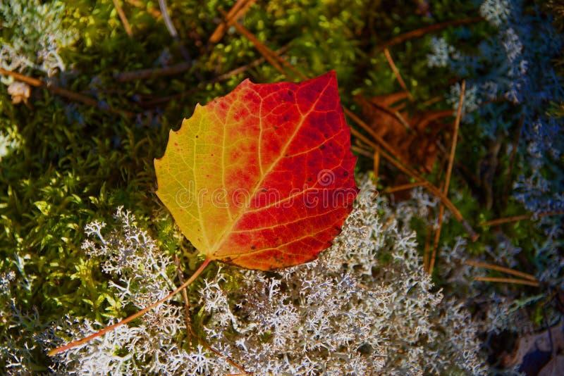 Gran-dente Aspen Leaf, Quetico, Ontario di autunno immagini stock libere da diritti