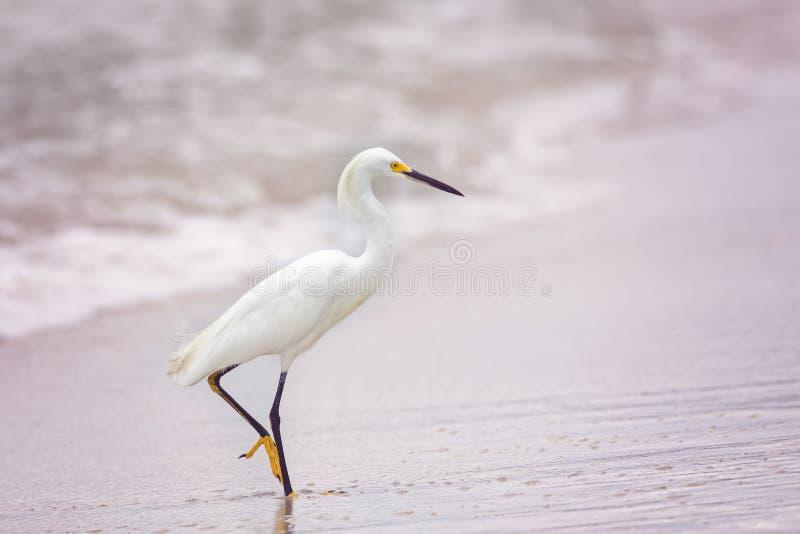 Gran Egret foto de archivo
