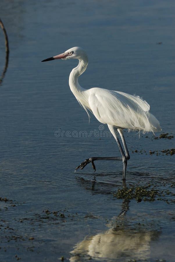 Gran Egret blanco imágenes de archivo libres de regalías