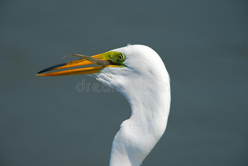 Gran Egret con los pescados foto de archivo