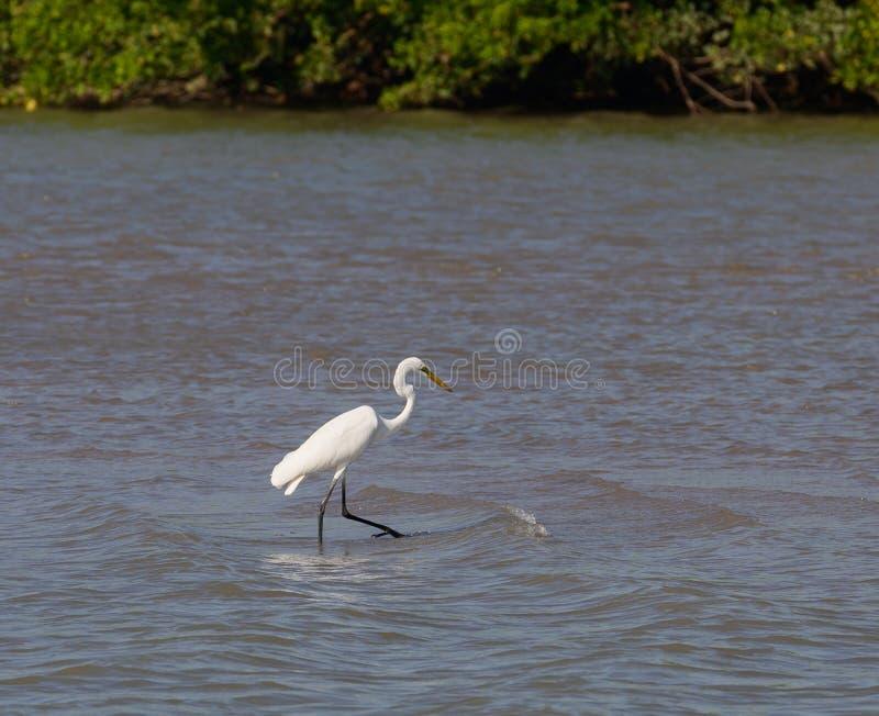 Gran Egret del este imagenes de archivo