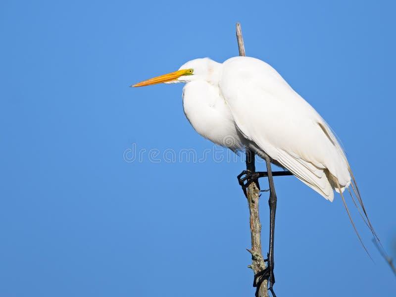 Gran Egret en ?rbol fotos de archivo