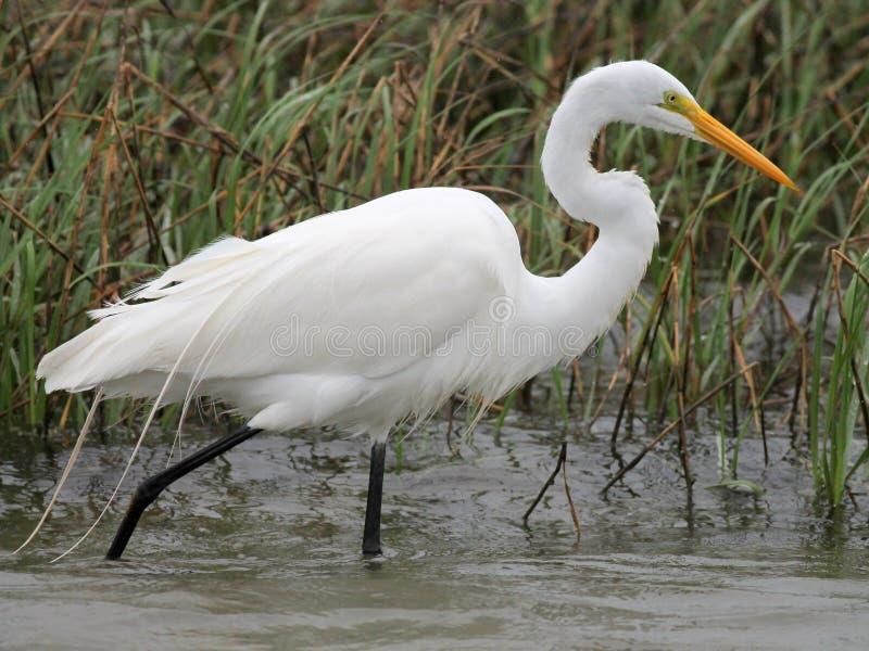 Gran Egret en Tejas del sur imagen de archivo libre de regalías