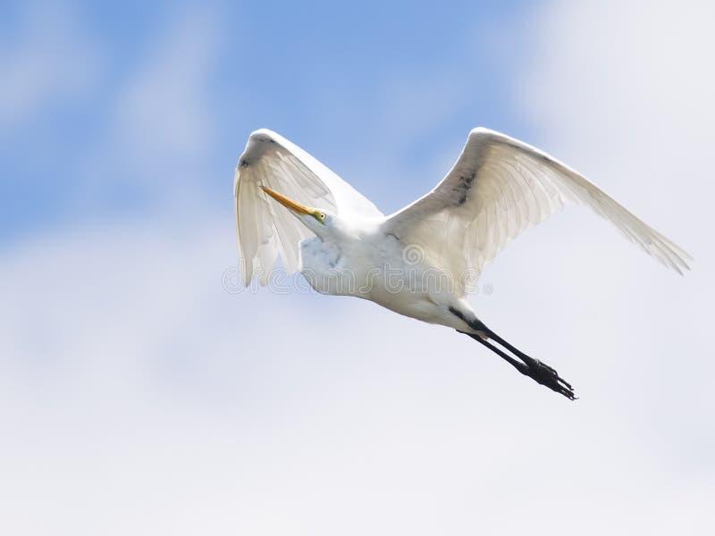 Gran Egret en vuelo foto de archivo