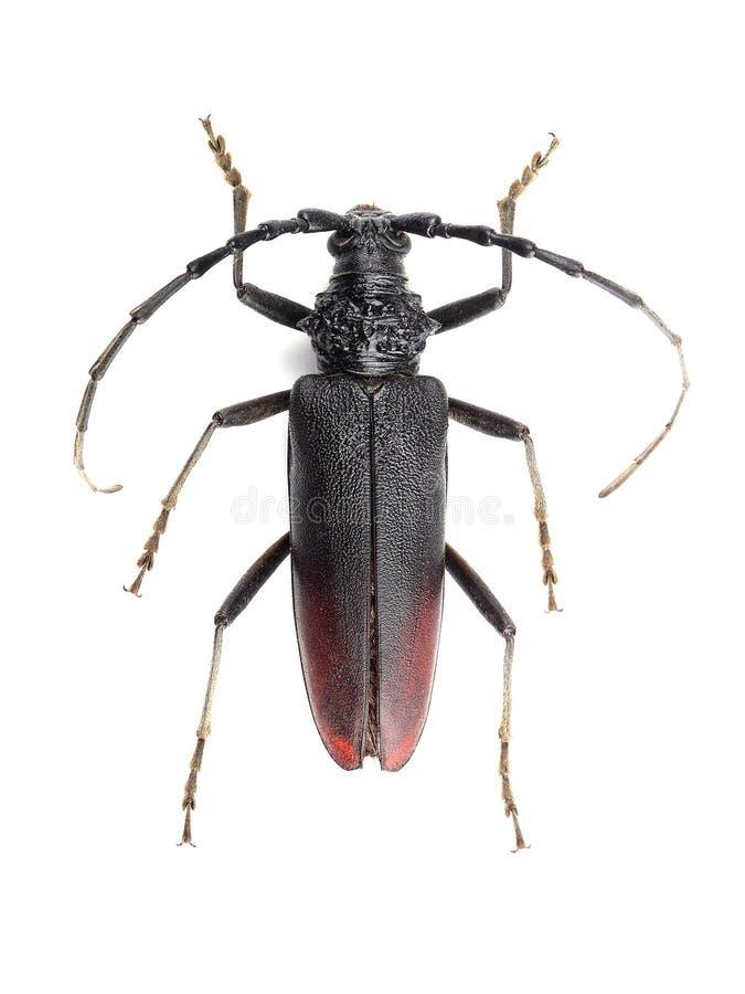 Gran escarabajo del Capricornio (cerdo de Cerambyx) aislado en blanco foto de archivo