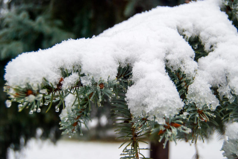 Gran förgrena sig i snow royaltyfri bild