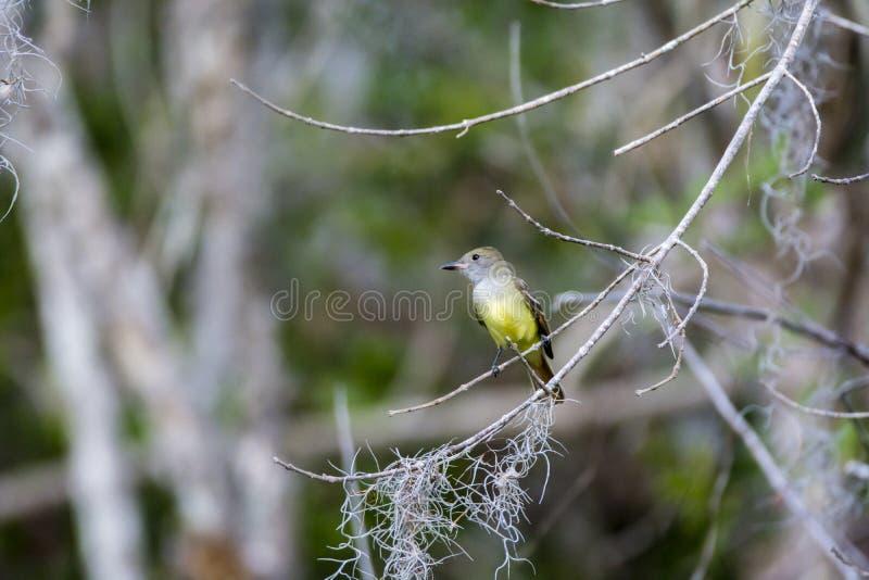 Gran Flycatcher con cresta foto de archivo libre de regalías