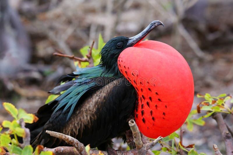 Gran Frigatebird masculino en PA nacional de la isla de Genovesa, las Islas Galápagos fotografía de archivo