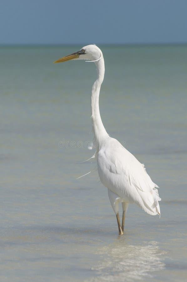 Gran garceta blanca que mira hacia fuera al mar imagenes de archivo