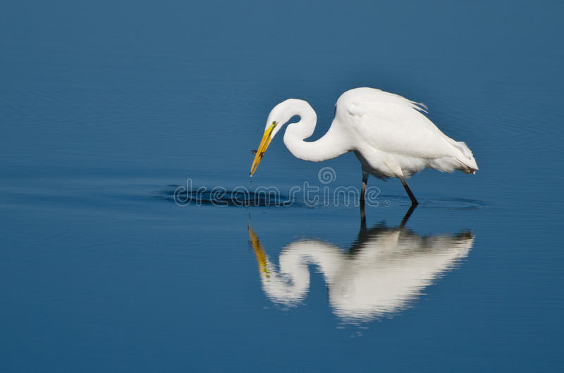 Download Gran Garceta Con Los Pescados Cogidos Foto de archivo - Imagen de caza, azul: 42426148