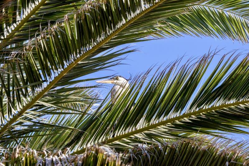 Gran garza azul en una palmera imagenes de archivo