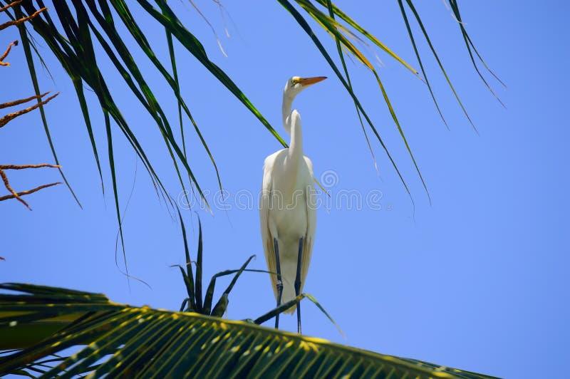 Gran garza en una rama de una palmera, contra un cielo azul despejado imágenes de archivo libres de regalías