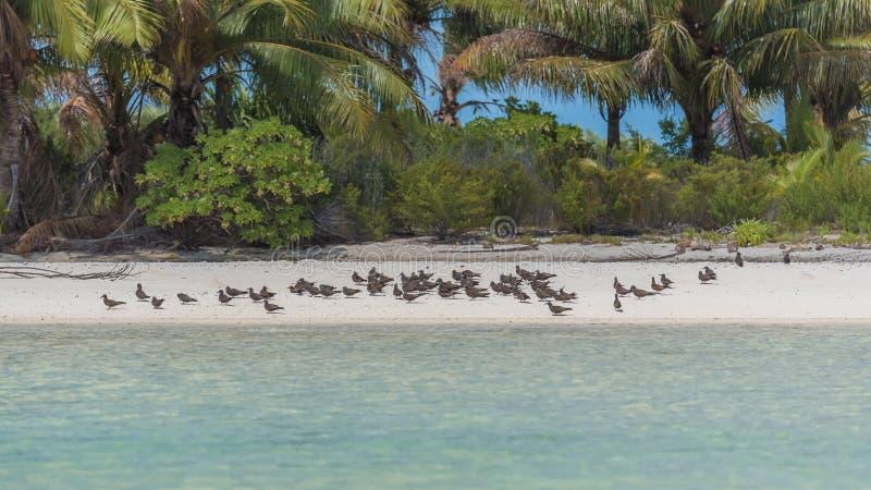 Gran golondrina de mar con cresta, pájaros de mar imagen de archivo libre de regalías