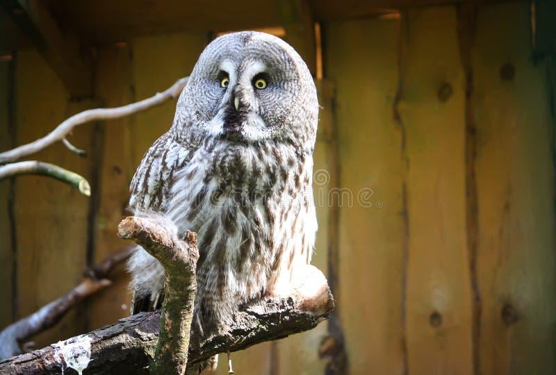 Gran Grey Owl, buitre rojizo, nebulosa del Strix imagenes de archivo