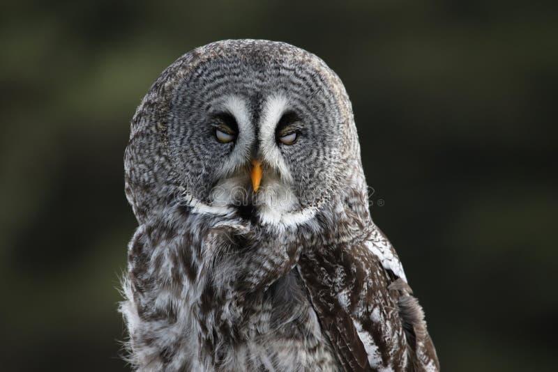 Gran Grey Owl con los ojos cerrados foto de archivo