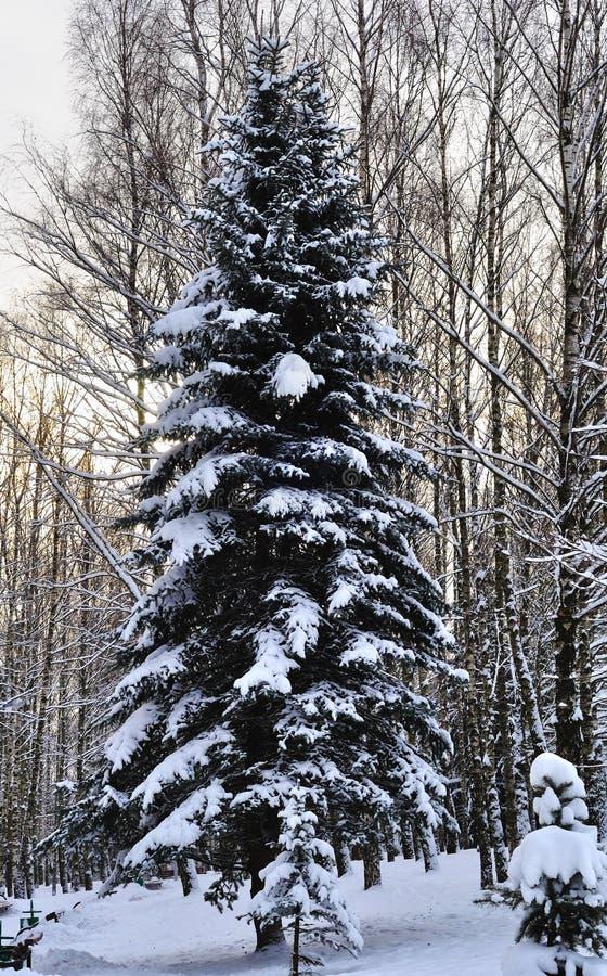 Gran i den insnöade vintern arkivbild