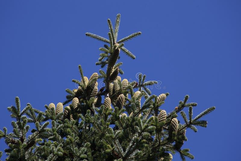 gran isolerad treewhite royaltyfria bilder
