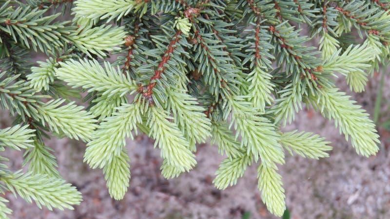 gran isolerad treewhite arkivbild
