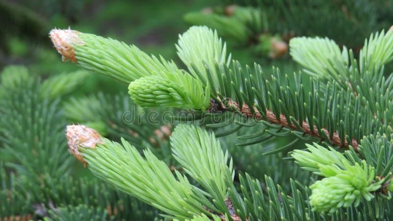 gran isolerad treewhite royaltyfri bild
